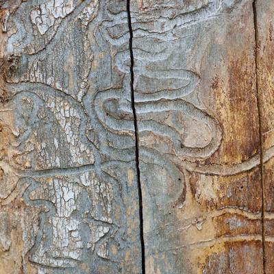 emerald ash borer tree damage